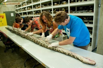 Giant 17 Ft Burmese Python Carrying a Record 87 Eggs