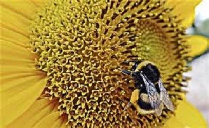 Bumblebees Trained to Crack Puzzles for Treats: Researchers find