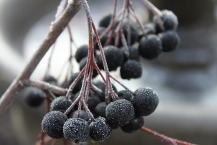 berry, chokeberry