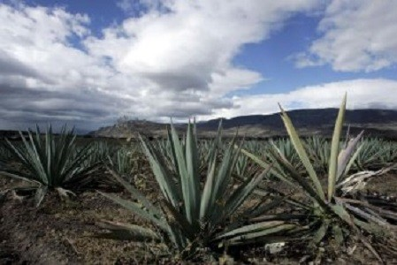 Tequila Plant Sweetener May Aid Diabetics, Lose Weight