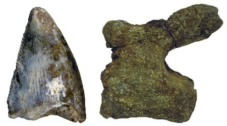 A theropod tooth and a sauropod vertebra (shown at different scales) are some of the first ever discovered dinosaur remains in Saudi Arabia.