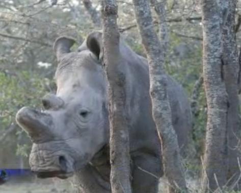 Sudan, the last northern white rhino