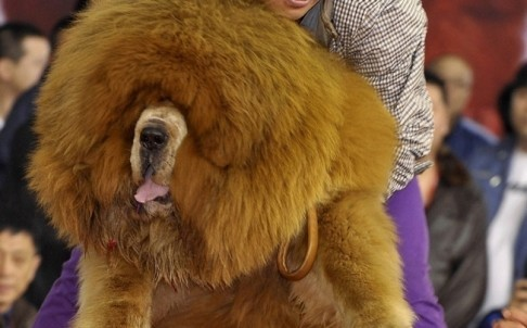 golden haired Tibetan mastiff sold for $2 million in China (Representational image)