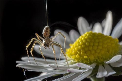 Flying spider