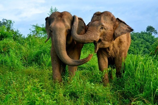 Elephants Consoles Each Other During Distress: Study Finds