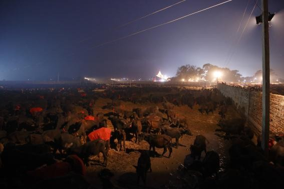 Buffaloes are gathered in an enclosure for buffalos awaiting sacrifice on the eve of the sacrificial ceremony for the