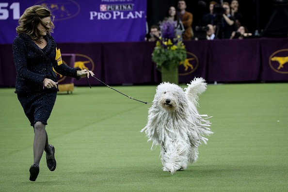 Westminster Dog show 2018,Westminster Dog show,Cutest dogs,Cute dogs,Cute dogs pics,Cute dogs images,Cute dogs stills,Cute dogs pictures