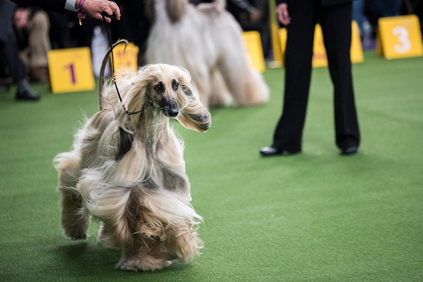 Westminster Dog show 2018,Westminster Dog show,Cutest dogs,Cute dogs,Cute dogs pics,Cute dogs images,Cute dogs stills,Cute dogs pictures
