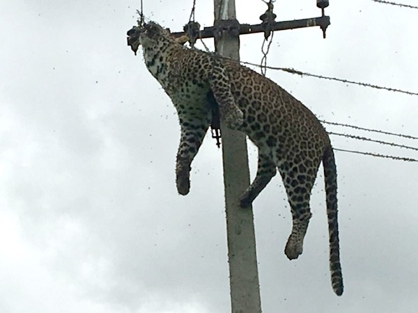 Leopard climbs electric pole,Leopard on electric pole,Leopard dies current shock