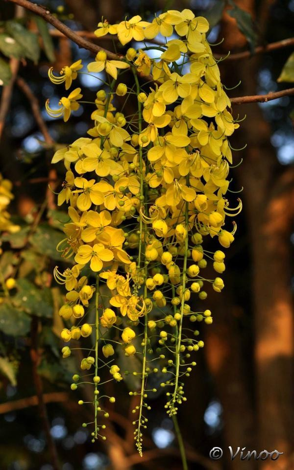 Kanikkona flowers