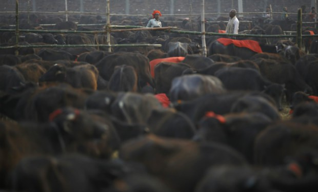 India set to export buffalo meat to Russia