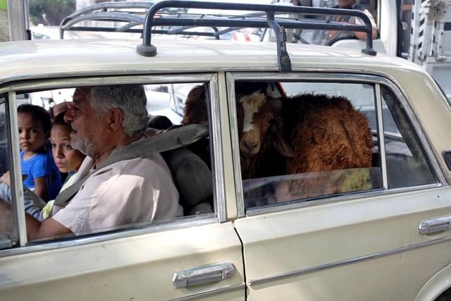 Sheep in car