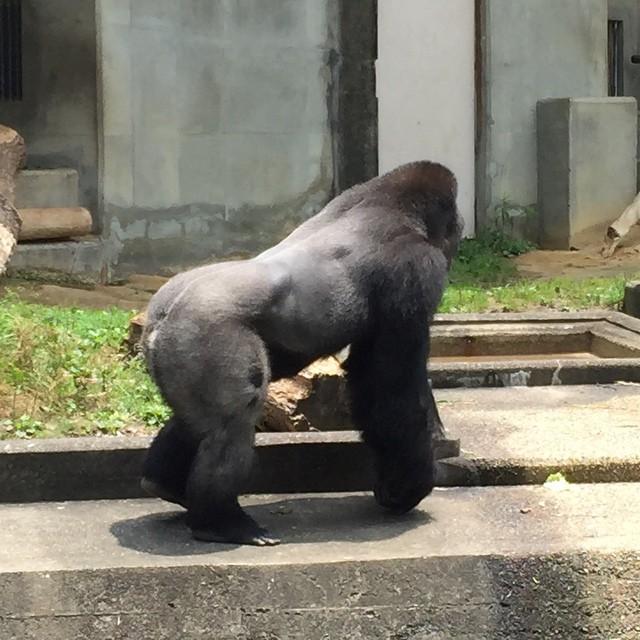 Shabani the gorilla