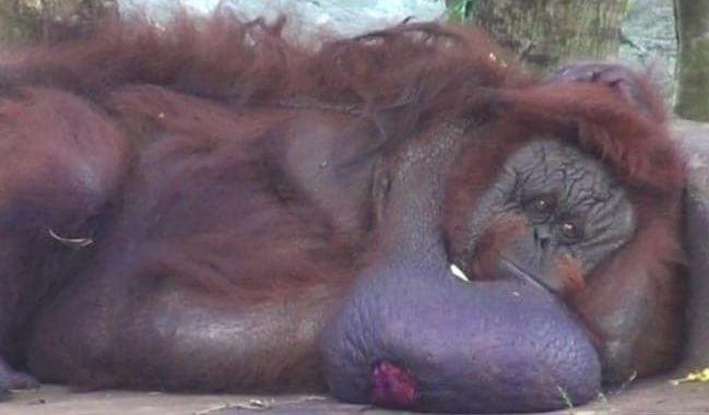 binny orangutan