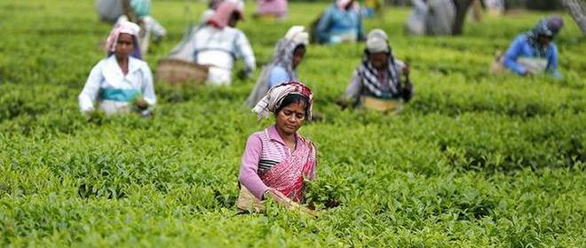 Tea workers of Assam will be covered by central insurance scheme