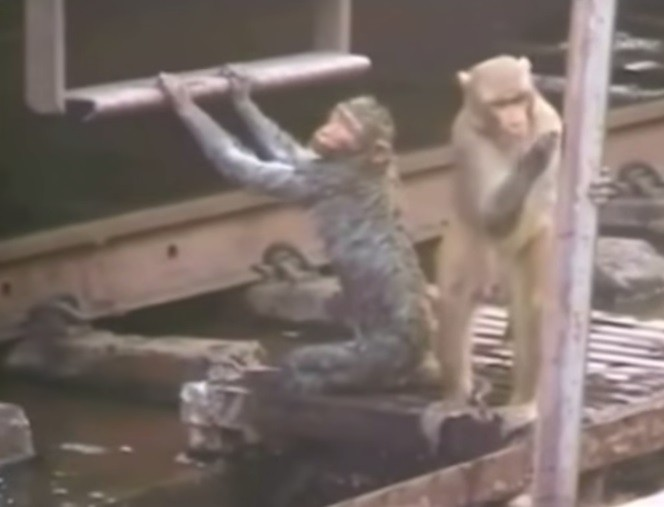 Hero Monkey rescuing his friend