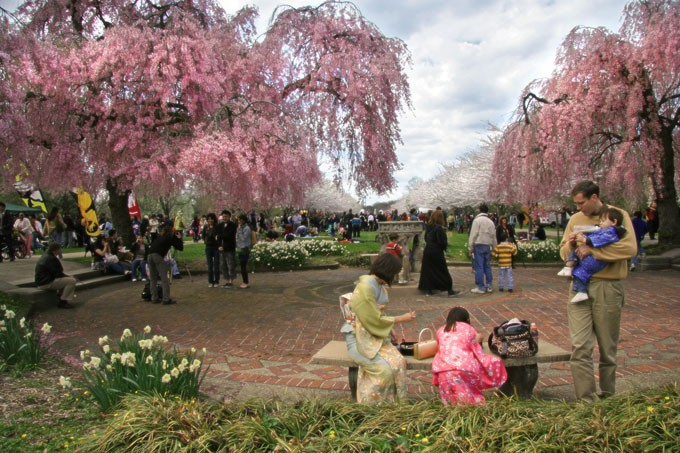 Chinhae Cherry Blossom Festival photos,Chinhae Cherry Blossom Festival photo gallery,cherry blossom trees,Cherry Blossom Festival in Fairmount Park photos