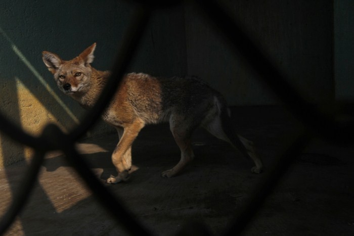A Mexican Coyote, that had been rescued with other animals while being trafficked illegally, is seen through the bars of an enclosure at the Federal Wildlife Conservation Center on the outskirts of Mexico City