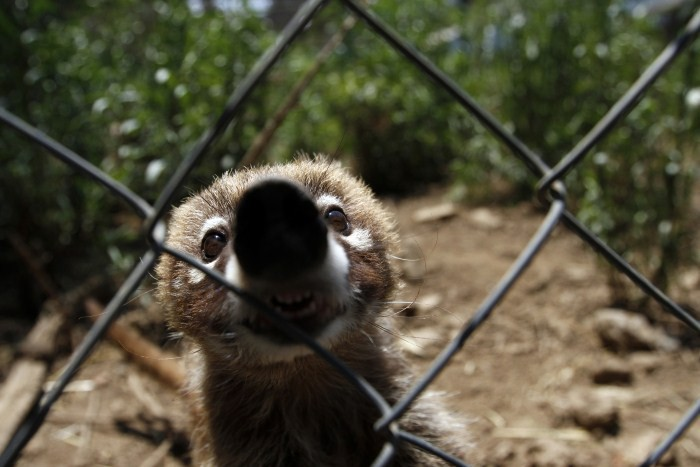 A coati, which had been rescued from a home along with two others of its kind, sits inside its enclosure at the Federal Wildlife Conservation Center on the outskirts of Mexico City