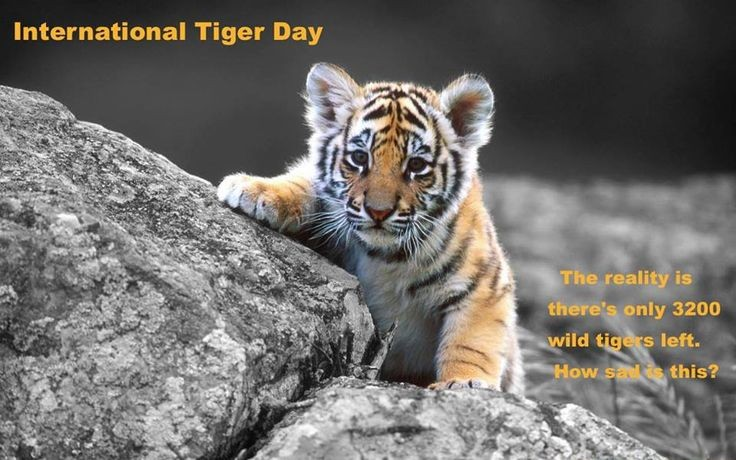 International Tiger Day,International Tiger Day 2016,Tiger Day,Tiger Day 2016,World Tiger Day 2016,Tiger Day quotes,Tiger Day wishes,Tiger Day greetings