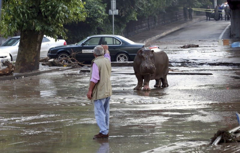 Georgia floods,Zoo break after Georgia floods,Zoo Animals,Deadly Zoo Animals,cages damage,heavy rainfall,Tbilisi,flooded street,hippopotamus