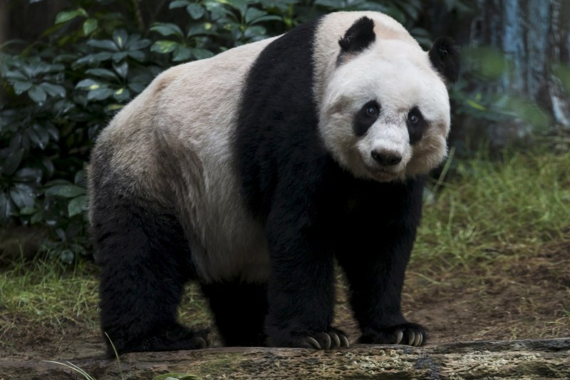 Jia Jia,Oldest Giant Panda,Guinness World Record,world record,panda,big panda,human centenarian,Oldest Panda