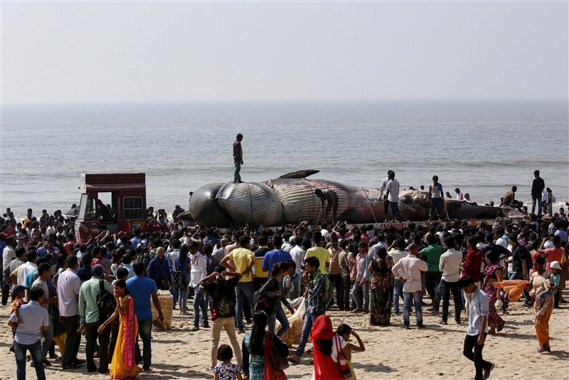 Gigantic Bryde's whale,dead whale washed ashore,dead whale in juhu beach,bryde whale dead in mumbai,dead whale in maharashtra,dead whale,Gigantic whale