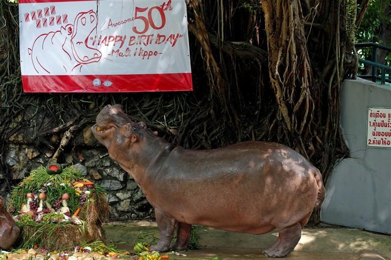Hippopotamus Mali,Mali celebrates 50th Birthday,Hippopotamus celebrates 50th Birthday,Mali birthday,Mali birthday pics,Mali birthday images,Mali birthday photos,Mali birthday stills,Mali birthday pictures