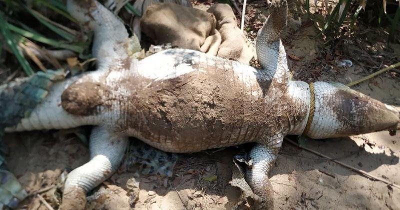 dead crocodile chennai