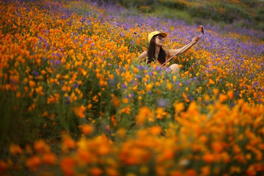 California,Southern California,California's desert blooms,wildflower bloom,biggest wildflower bloom