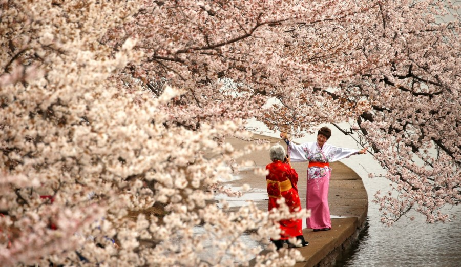 Cherry blossoms,Cherry blossoms in bloom,spring,spring season,Cherry blossoms pics,Cherry blossoms images,Cherry blossoms photos,Cherry blossoms stills,Cherry blossoms pictures