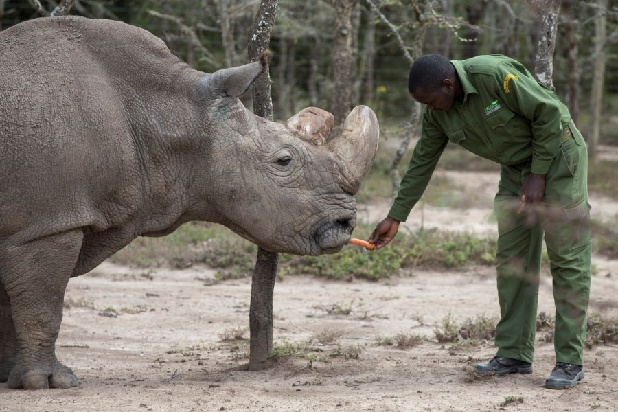 Male northern white rhino,last living male northern white rhino,male white rhino,white rhino,Sudan,Sudan white rhino,Kenya Sanctuary