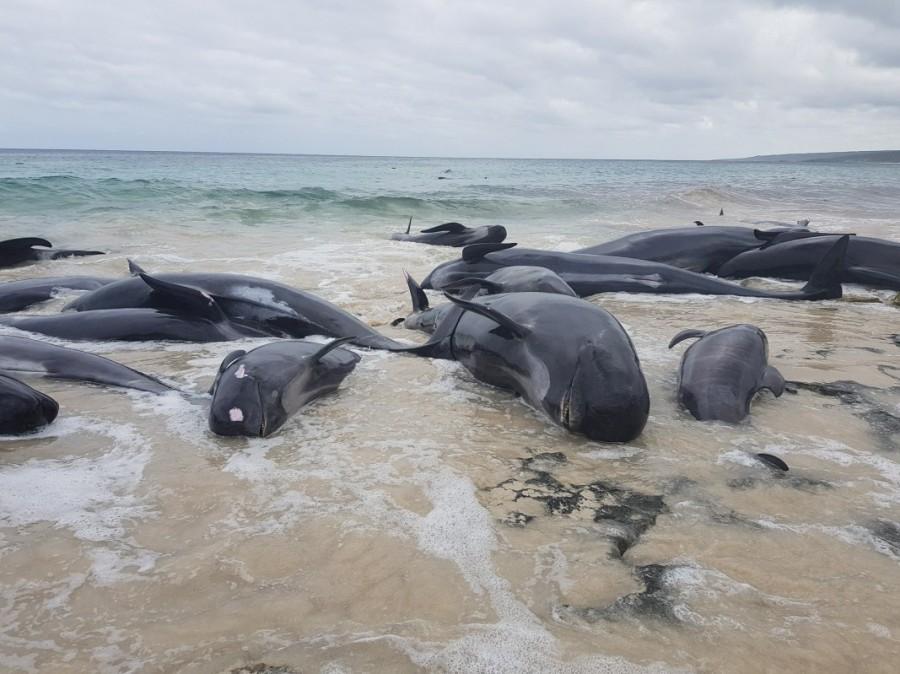 Whales die on Australian beach,whales die,Australian beach,Western Australia