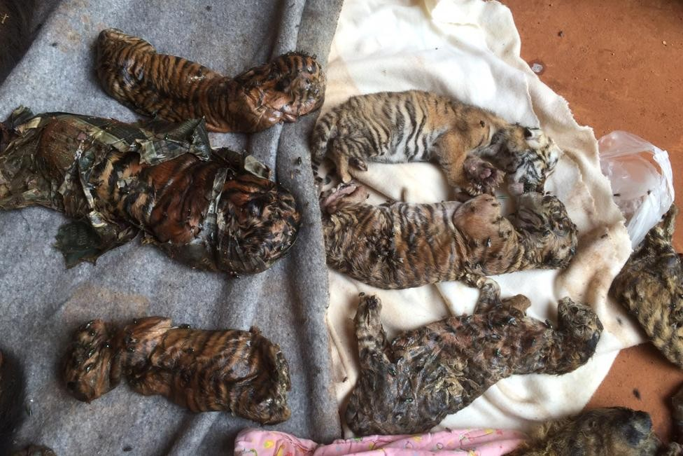 Thailand Tiger Temple,Tiger Temple,thailand tiger temple raid,Tiger Temple raid,Dead cubs,Dead tiger cubs,tiger cub,Raiding the Tiger Temple,Tiger Temple Raiding,Buddhist tiger temple,Thai Tiger Temple