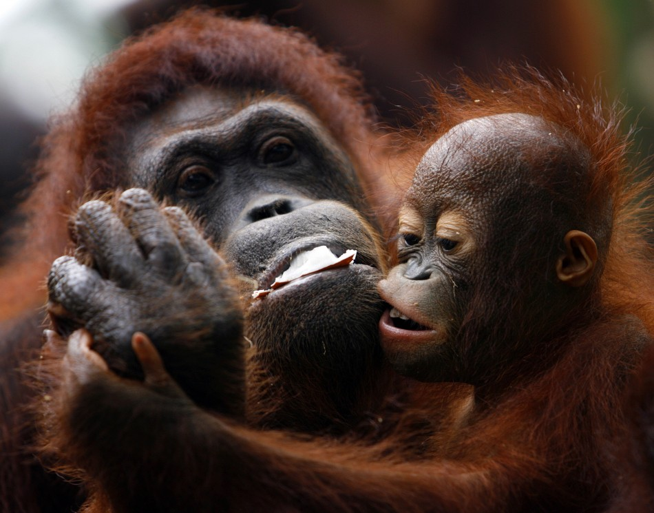 Sumatran Male Orangutans Delay Puberty To Attract Females - Ibtimes India-7978