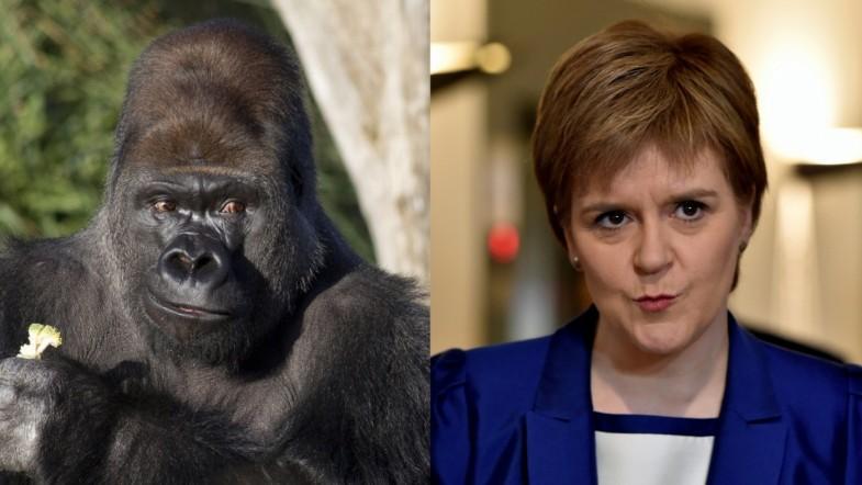 BBC Breakfast shows escaped gorilla instead of Nicola Sturgeon