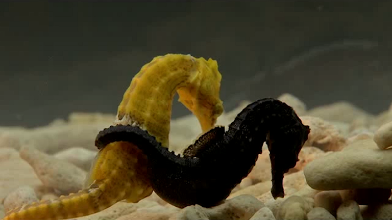 Here's how male seahorses ended up being the ones that get pregnant