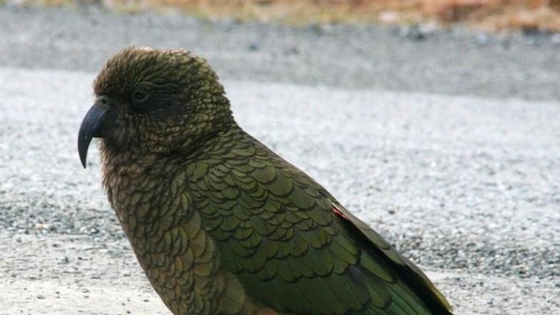 New Zealand parrots have contagious laughter new study shows