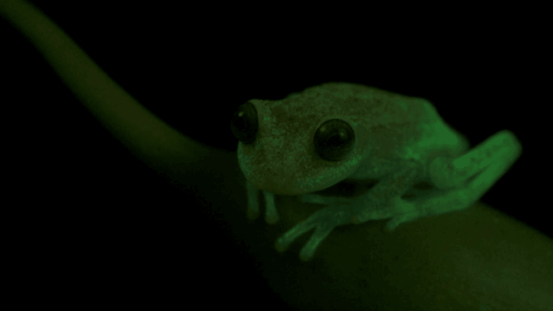 Worlds first fluorescent frog discovered by accident