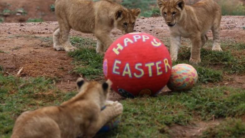 Lion cubs, monkeys and meerkats enjoy Easter treats at Australian zoo