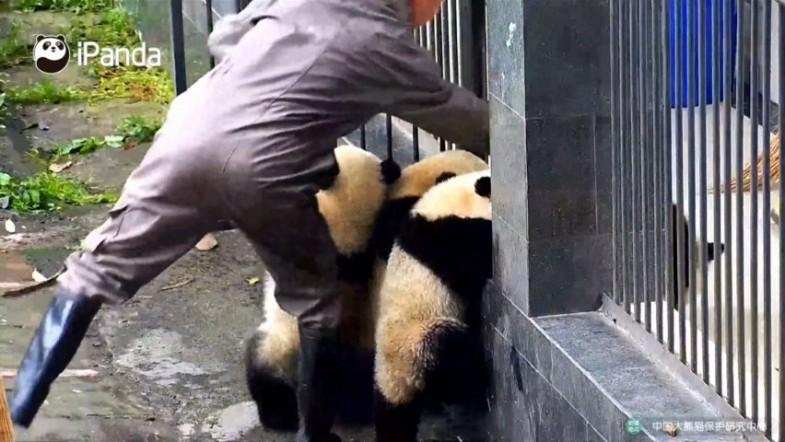 Watch zookeeper hilariously struggle to leave panda enclosure