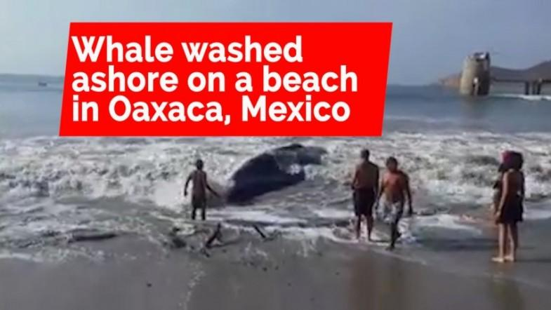 Volunteers rescue whale that beached Itself in Mexico
