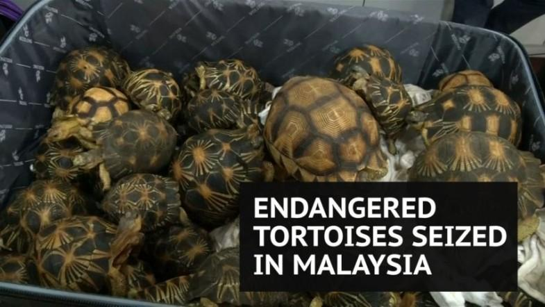 Hundreds of smuggled endangered tortoises seized at Malaysian airport