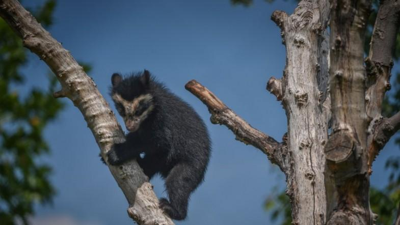 Super cute baby bear learns to climb at Chester Zoo