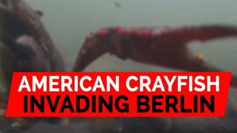 American Louisiana crayfish invade Berlin park