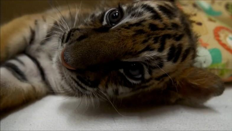 Tiger cub rejected by its mother starts a new life at San Diego zoo