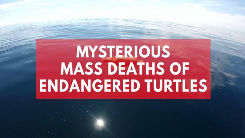 Mysterious mass death of endangered turtles baffles El Salvador officials