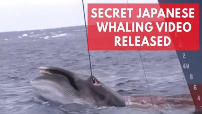 Shocking Japanese whaling footage shows barbaric hunt in Australian whale sanctuary