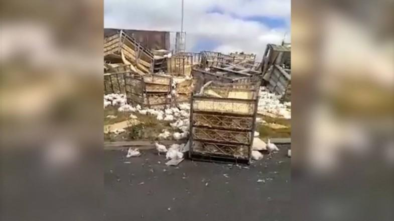 Truck loaded with thousands of live chickens crashes on Australian highway