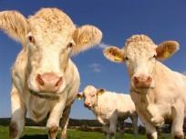 cows,